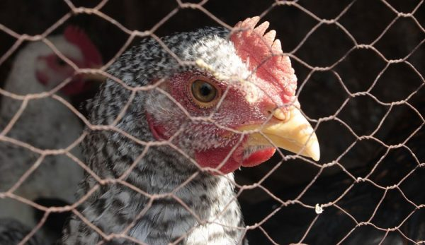 Ease Chicken Stress With These Hen-Calming Tips