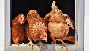 chickens harmony hens golden buff