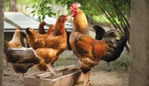 chicken harmony rooster