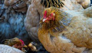 chickens chicken hen hens bruised bruise beak