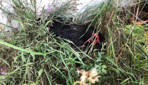 missing chicken hiding nest grass