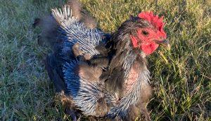 chicken chickens molting hard molt