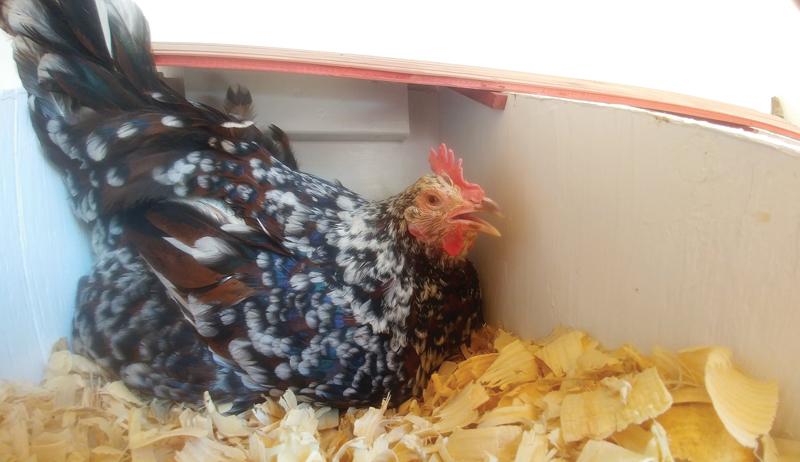 chicken chickens hot cold weather