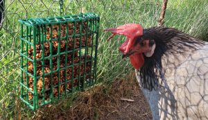 chicken treats block