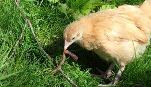 alternative protein worm chicken feed