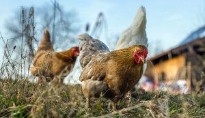 chickens chicken spontaneous sex reversal