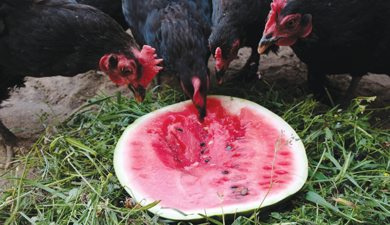 chickens heat chicken hen hens