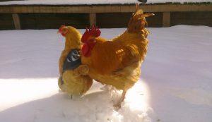 winter death of a chicken