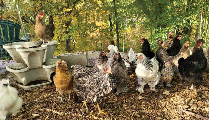 chicken coop chickens