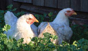 chickens heat hot chickens hens hen