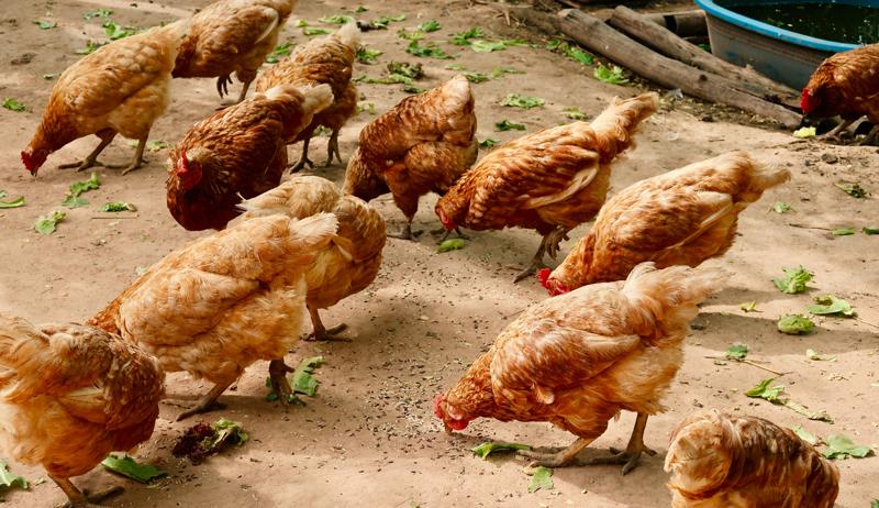 chicken chickens treat treats