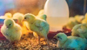 custom hatching chicks brooder business