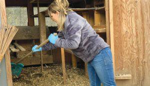 muck chicken coop spring clean cleaning