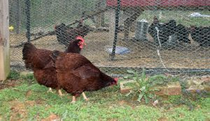 chicken rotational grazing