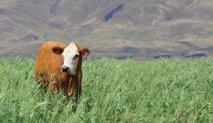 cattle cow regenerative agriculture soil health pasture