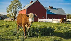 raising livestock cow cows breed