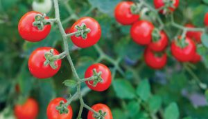 currant tomatoes tomato nutritious crop