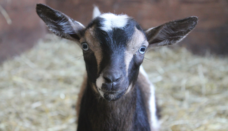 reasons to keep goats