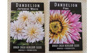 dandelion dandelions seeds