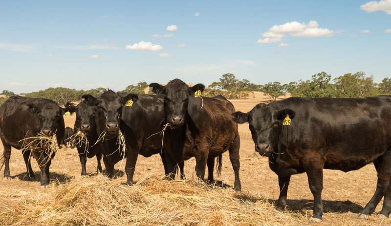 cattle drought dry