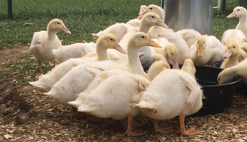 duck eggs egg business