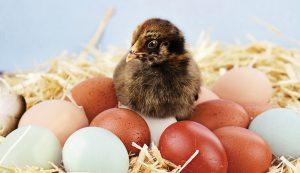 egg color