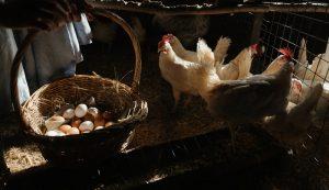 chicken coop light lights eggs