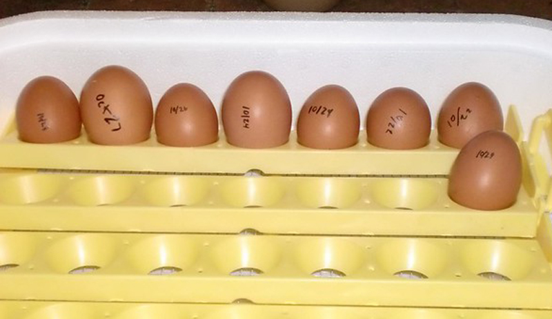 eggs incubator chicken-keeping questions