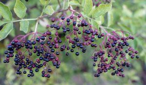 elder elderberry elderberries