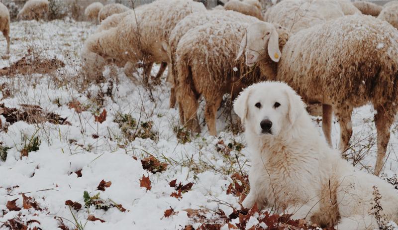 sheep predators predator protection