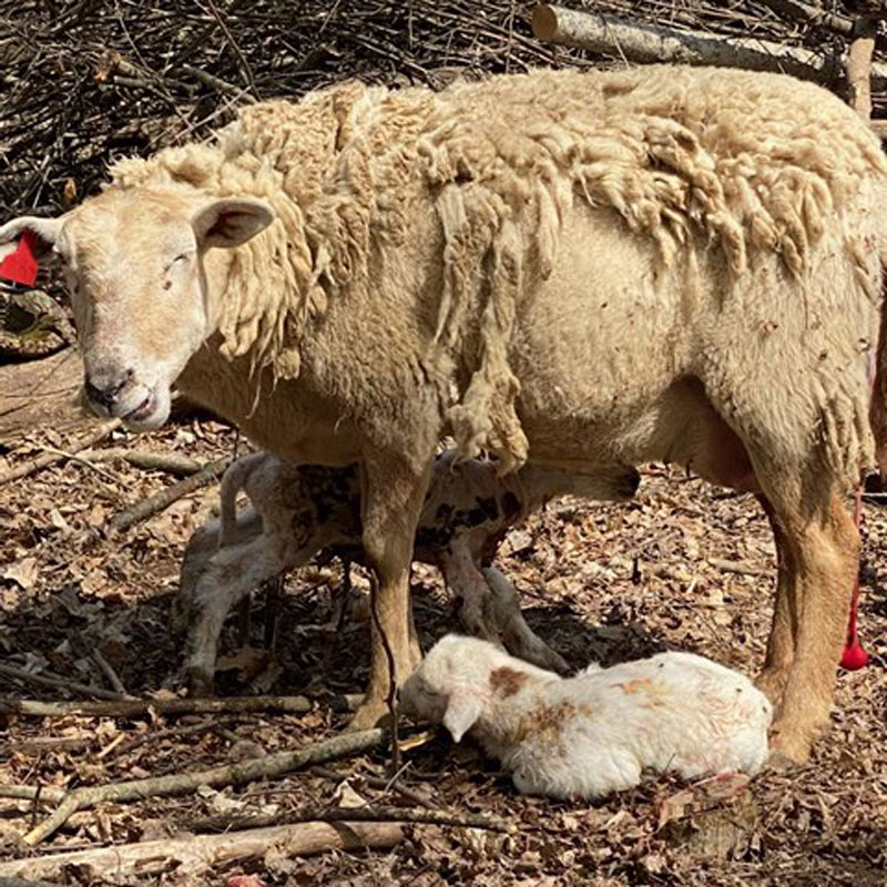 lambing lamb sheep