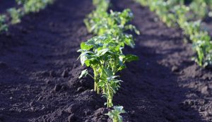 vegetable crops heat