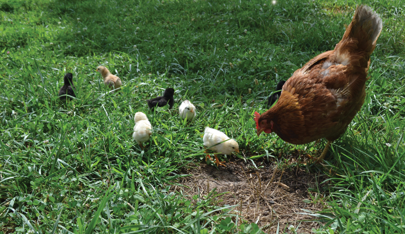 chicken feed for less