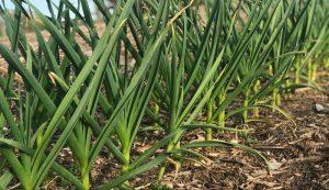grow garlic garden