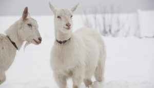 goat goats cold snow