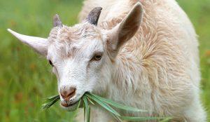 goats minerals goat