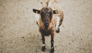 goat hooves trim trimming