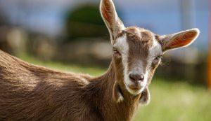 goat kid ultrasound