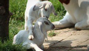 goat goats kid kids kidding