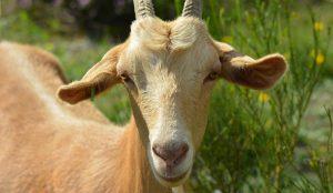 goat lactation tips maintenance