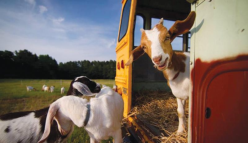 goat shelter goats shelters