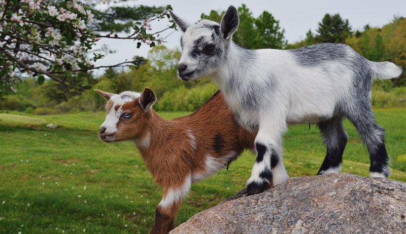 goat yoga uses goats nigerian dwarf