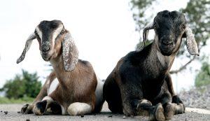 rare disease goat autoimmune