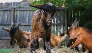 urban goats miniature
