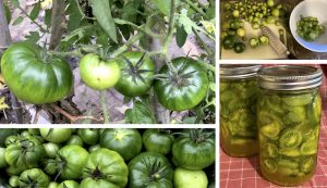 green tomatoes pickle pickling recipe