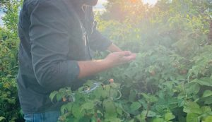 harvesting raspberries harvest raspberry