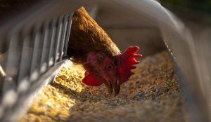 chicken chickens poultry feed supplements feeding your flock