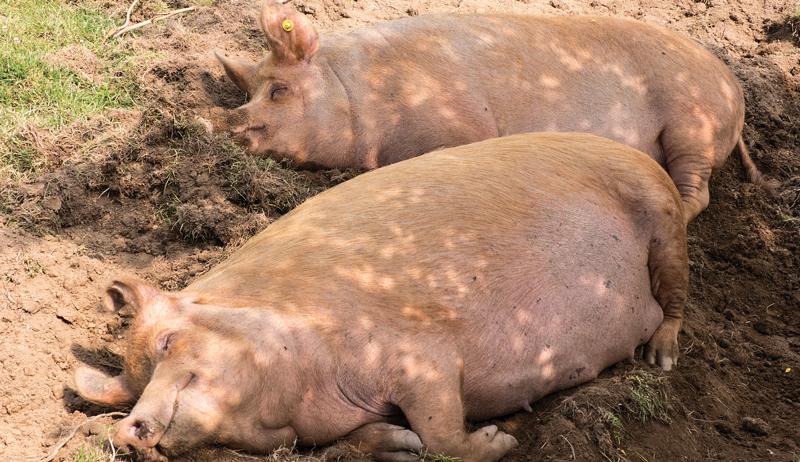 pigs raised on pasture tamworth