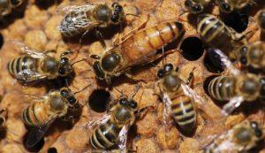 getting honeybees