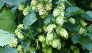 hops home brew homebrew beer